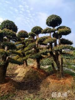 50公分造型椤木石楠