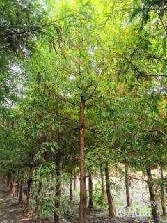 7公分北美落羽杉