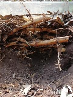 地栽苗刚竹