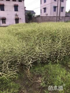 高度80厘米花叶芦苇