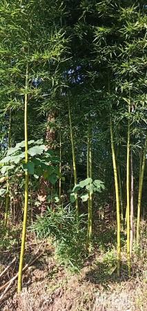 2.3公分斑竹