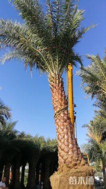裸干高300厘米中东海枣