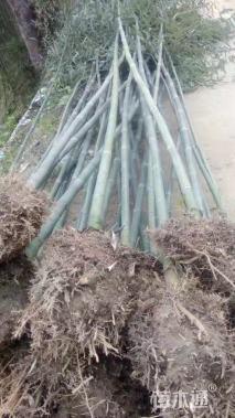 6公分斑竹