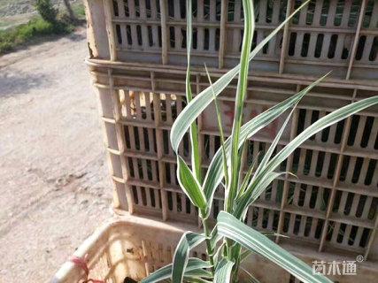 高度20厘米花叶芦竹