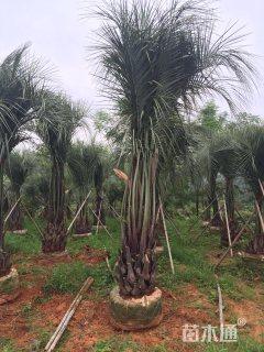 裸干高80厘米布迪椰子