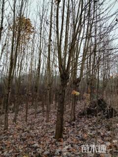 15公分马褂木