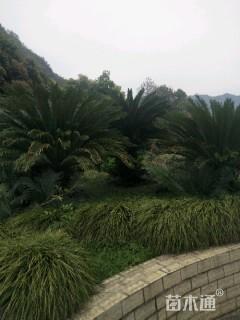 裸干高100厘米铁树