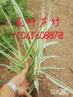 高度30厘米花叶芦竹
