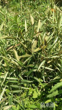 地栽苗菲白竹