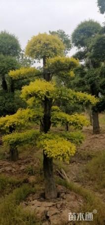 40公分造型金叶榆