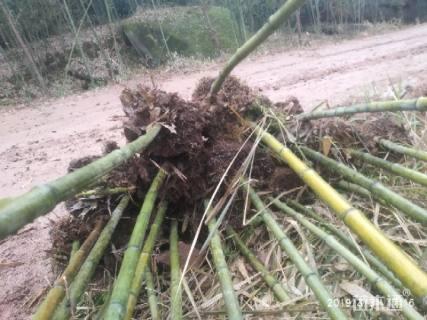 2公分斑竹