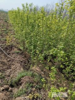 高度1.5厘米丛生茶条槭