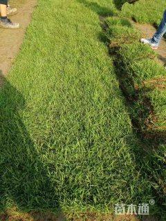 草卷状中华结缕草