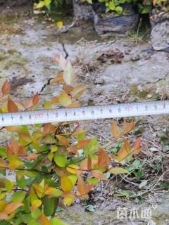 高度30厘米大花六道木