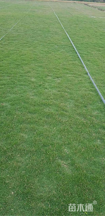 草块状夏威夷草