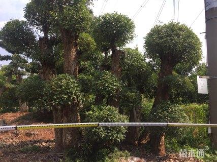 30公分造型榆树