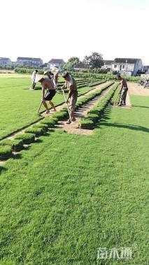 草块状天堂草