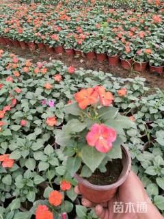 高度18厘米凤仙花