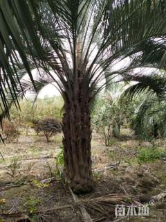 裸干高100厘米布迪椰子