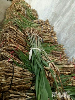 高度30厘米花叶芦苇