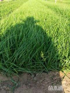 高度20厘米青绿苔草