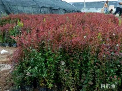 高度40厘米红叶小檗