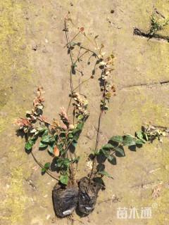 主蔓长20厘米花叶络石