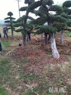 15公分造型榆树