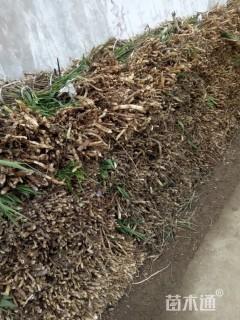 高度40厘米芦苇
