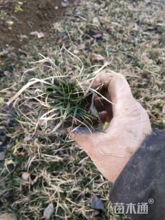 高度10厘米青绿苔草