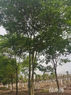 30公分丛生朴树