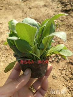 高度15厘米黑心菊