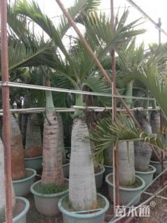 裸干高150厘米酒瓶椰子