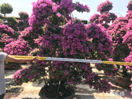 造型紫花勒杜鹃