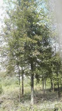15公分北美枫香