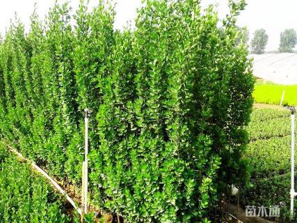 高度150厘米北海道黄杨