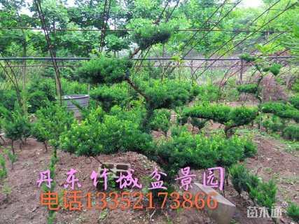 高度80厘米矮紫杉