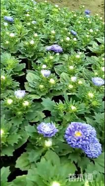 高度20厘米翠菊
