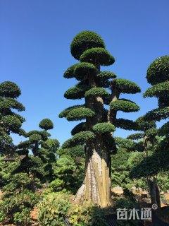 85公分造型榆树