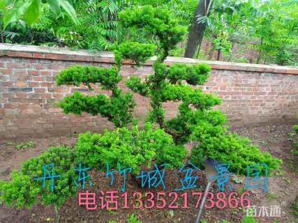 高度140厘米矮紫杉