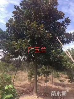 8公分广玉兰