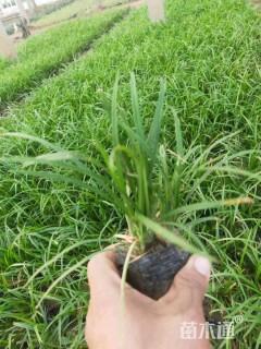 高度15厘米崂峪苔草