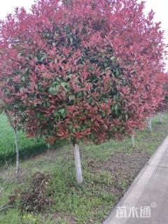 10公分红叶石楠