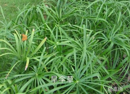 高度20厘米旱伞草