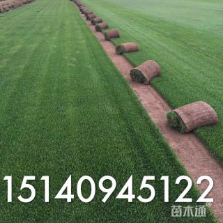 草卷状早熟禾草