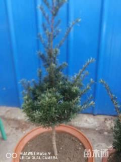 高度50厘米矮紫杉