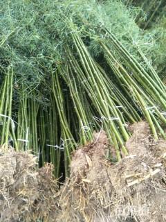 1.5公分刚竹