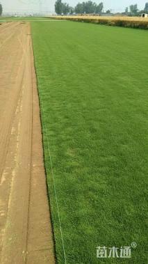 草毯状翦股颖