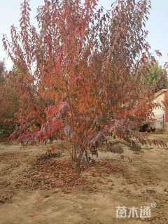 20公分茶条槭