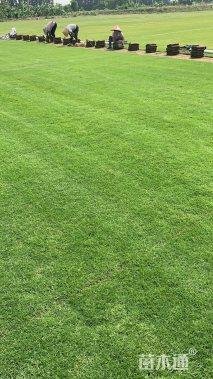 草卷状夏威夷草